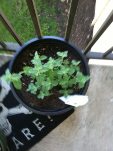 catmint 1